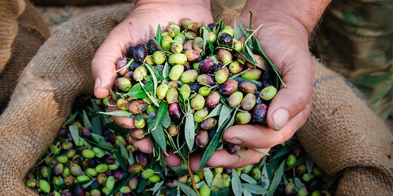 Proceso de aceituna, del olivo a la mesa