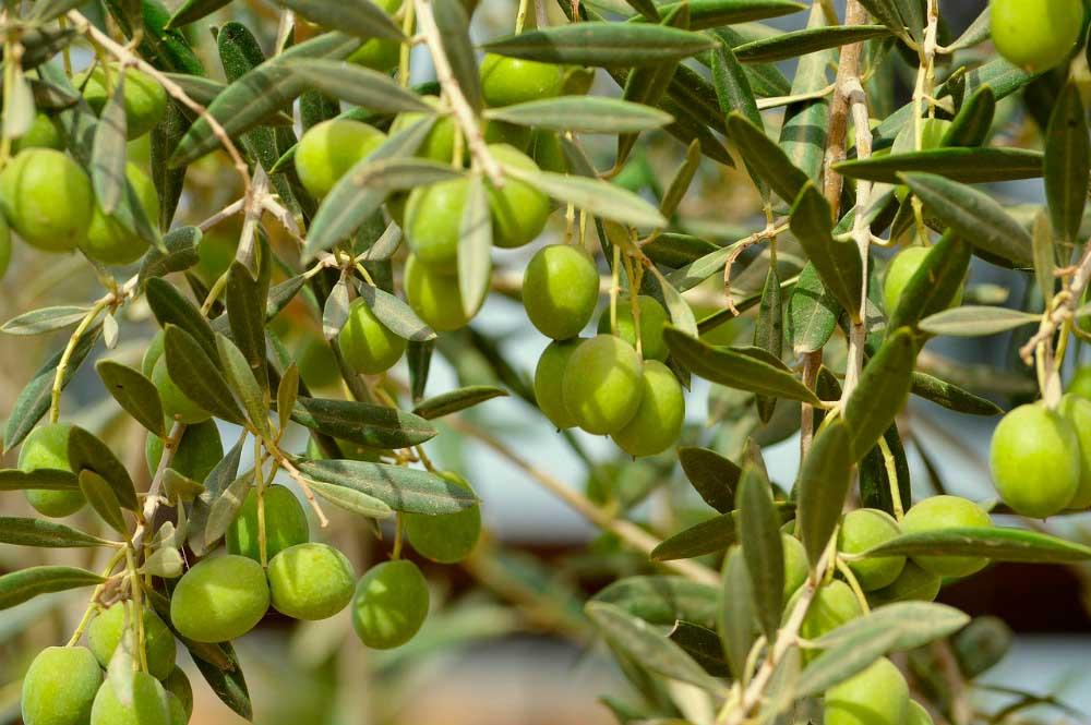 Conociendo recolección y transporte de la aceituna - Fragata