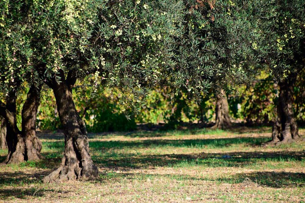 Conociendo el proceso de recolección de la aceituna - Fragata