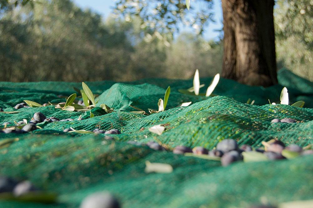 Curiosidades sobre la recolección de aceitunas -