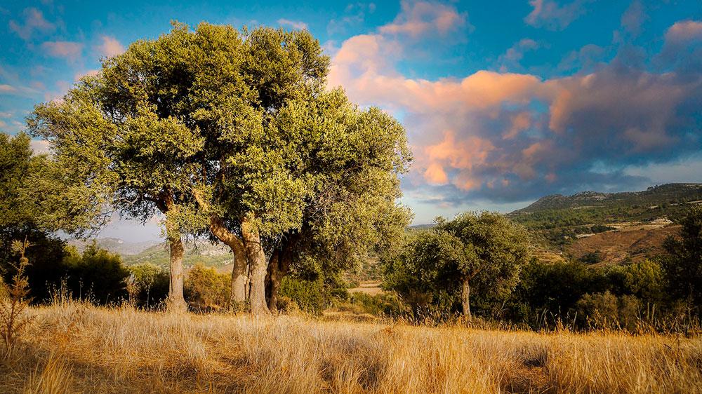 El olivo, árbol milenario