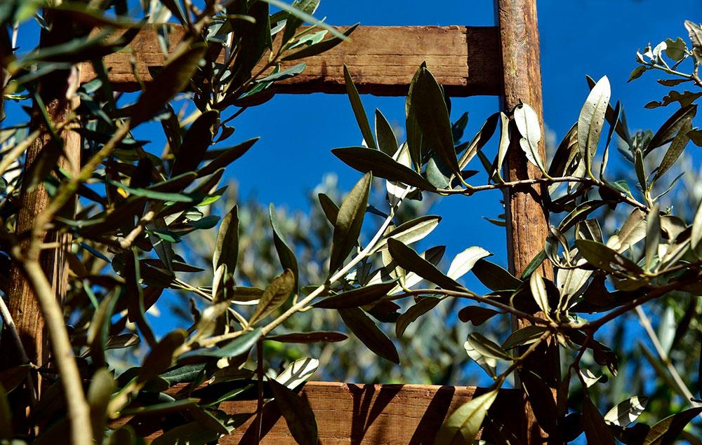 Verdeo: recolección de la aceituna de mesa