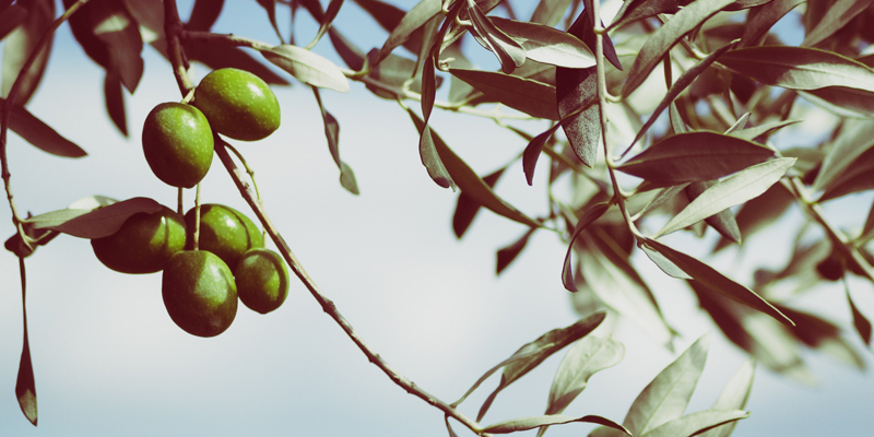 Curiosidades sobre la recolección de aceitunas